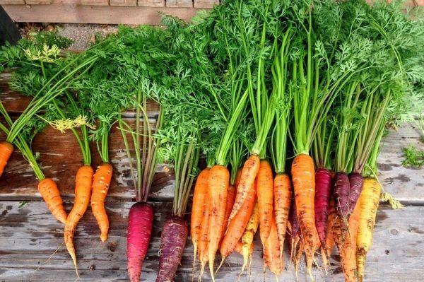 Photo of Ботва моркови – полезные свойства и противопоказания, как применять